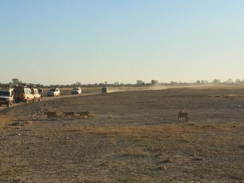 子ライオンたちをサファリカーで囲んで静かに見守ります