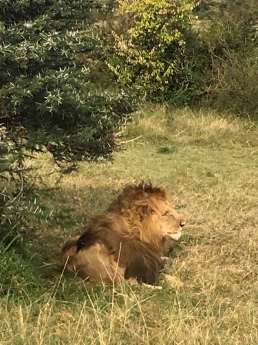 会ったときはヘソ天で寝ていたパパライオン